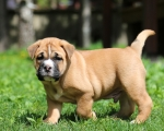 Ludwig van Bethowen Ideal Dogs Giv